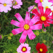 Stock Photo: Pink cosmos flower in garden