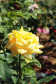 Yellow rose in the garden — Zdjęcie stockowe