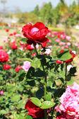 Rosa vermelha no jardim — Fotografia Stock