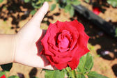 Hand with red roses in the garden. — Stock Photo