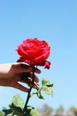 Hand with red roses in the garden. — Stok fotoğraf