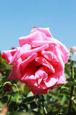 Pink rose with blue sky — Stock Photo