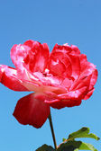 Red rose with blue sky — Stock Photo