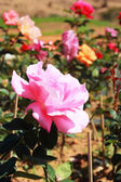 Pink rose in the garden — Stockfoto