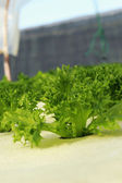 Green salad vegetable in hydroponic farm. — Stock Photo