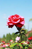 Red rose with blue sky — Foto Stock