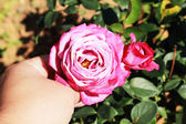 Hand with pink roses in the garden. — Foto Stock
