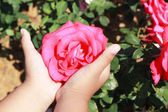Hand with pink roses in the garden. — Stockfoto
