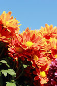 Gerbera flowers with blue sky — Foto de Stock