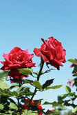 Red rose with blue sky — Stock fotografie