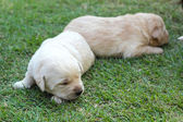 Sleeping labrador puppies on green grass - three weeks old. — Foto de Stock