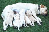 Labrador puppies sucking milk from mother dog breast. — Stock Photo