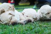 Щенки лабрадора на зеленой траве - три недели старый сон. — Стоковое фото