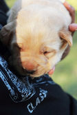 Picked up labrador puppies - three weeks old. — Stock Photo