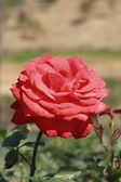 Red rose in the garden — Stock fotografie