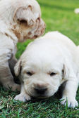 Playing labrador puppies on green grass - three weeks old. — Photo