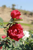 Red rose in the garden — Stok fotoğraf