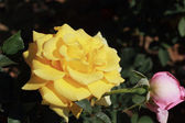 Yellow rose in the garden — Stock fotografie
