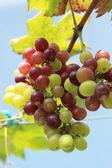 Taze üzüm üzüm — Stok fotoğraf