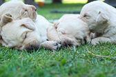 Sleeping labrador puppies on green grass - three weeks old. — Stock fotografie