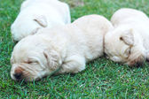 Sleeping labrador puppies on green grass - three weeks old. — Stockfoto