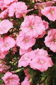 Petunias flower in the garden — Stock Photo