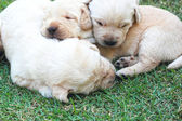 Sleeping labrador puppies on green grass - three weeks old. — Stock Photo