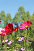 Field of red cosmos flower — Stock Photo