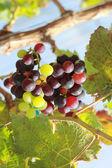 Uvas frescas en el viñedo — Foto de Stock