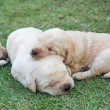 Sleeping labrador puppies on green grass - three weeks old. — Stock Photo #40264383
