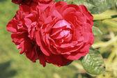Close up de la rosa roja — Foto de Stock
