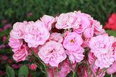 Cerca de rosa — Foto de Stock