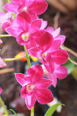 Pink orchid in the nature — Stock Photo