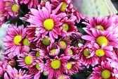 Pink gerbera flowers in the garden — Stock Photo