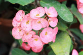Euphorbia milli flowers - pink  flowers — Stock Photo