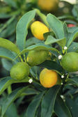 Fresh ripe orange hangs on the tree — Stock Photo