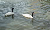 Swimming a black swan. — Stock Photo