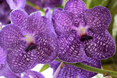 Close up of purple orchid — Stock Photo