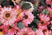 Wunderschöne chrysanthemen von künstlichen blumen — Stockfoto