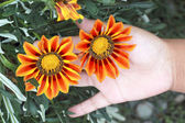 Daisy flowers - red and yellow flowers — Stockfoto