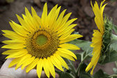 Campo di girasoli fioriti in estate — Foto Stock