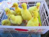 Gosling new born yellow is a group — Stock Photo