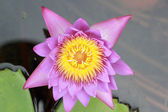 Colorful of lotus flower - pink and purple — Stock Photo