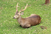 Sika deer in the nature — Stock Photo