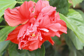 Hibiscus flowers - orange flower in the nature — Stockfoto