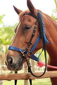Face horse in the farm — Stock Photo
