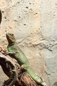 Green Iguana in the nature — Stock Photo