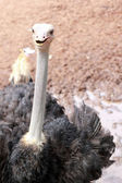 Ostrich in the farm with nature — Stock Photo