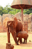 A baby and mother african elephant — Stock Photo
