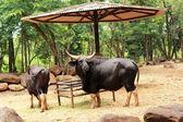 Bull black in the nature — Stock Photo